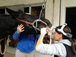 Chiropraktik und Zahnbehandlungen – unterwegs mit der mobilen Pferdepraxis